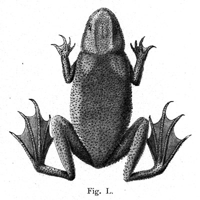 Fig. L. from Tornier (1896)
